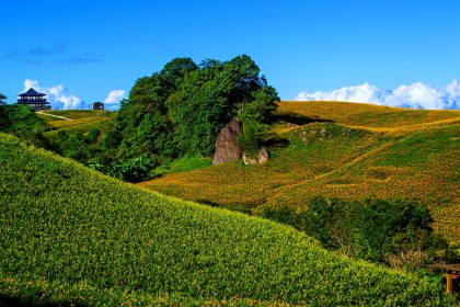 花蓮六十石山金針花 Daylily Season Liushishi Mountain (Sixty Stone Mountain)